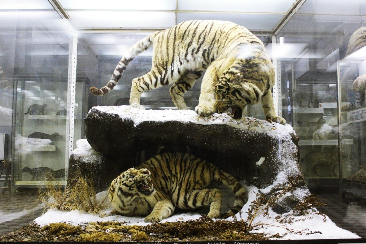 Тигры. Фото: Зоологический музей РАН (vk.com/zoologicalmusspb)