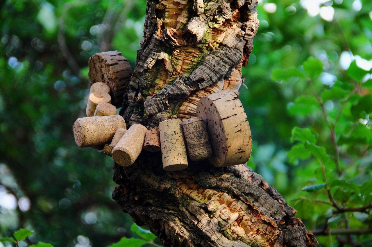 Пробковый дуб. Растения Средиземноморья и Южной Африки, оранжерея № 3. Фото: Ирина Казакова (botsad-spb.com)