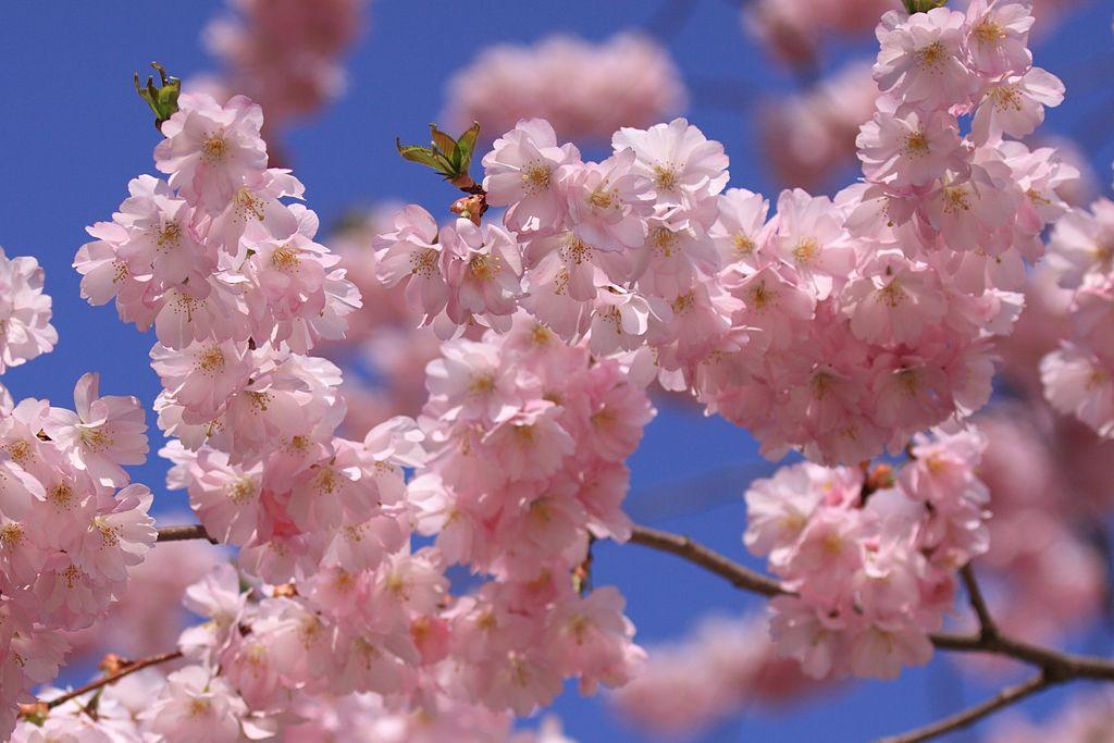 Ботанический сад. Цветение сакуры