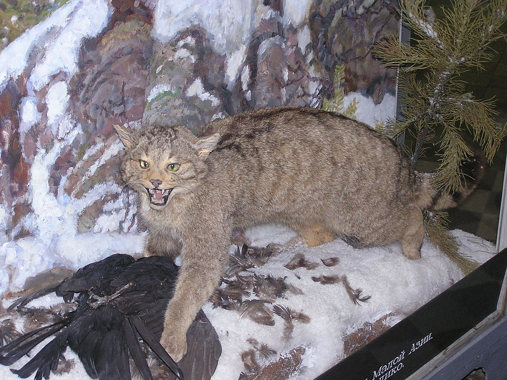 Зоологический музей в Санкт-Петербурге. Дикий кот. Фото: Butko (Wikimedia Commons)