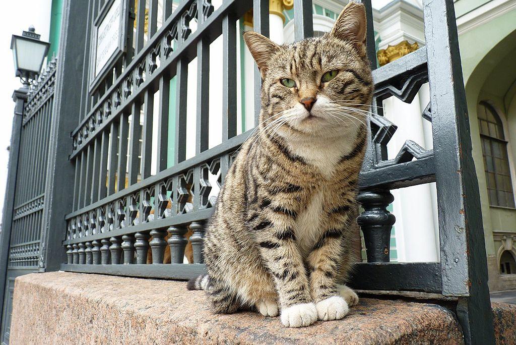 Эрмитажный кот. Фото: ewwl (Wikimedia Commons)