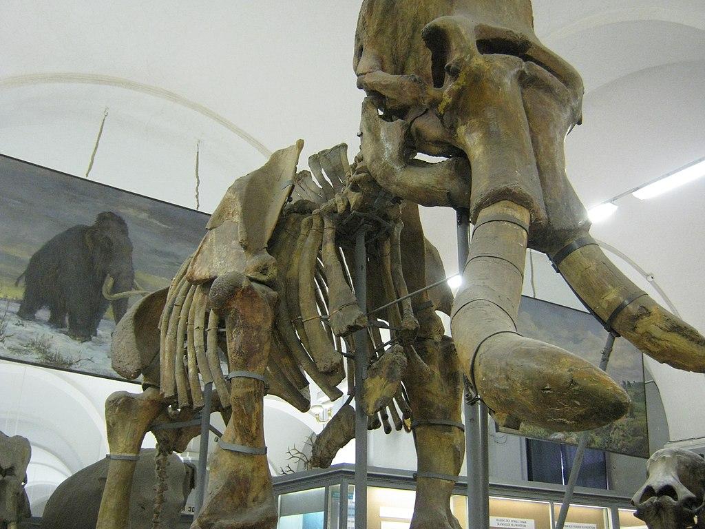Второй обнаруженный скелет Южного слона выставленный в Санкт-Петербургский зоологический музей РАН. Фото: Константин Кудинов (Wikimedia Commons)