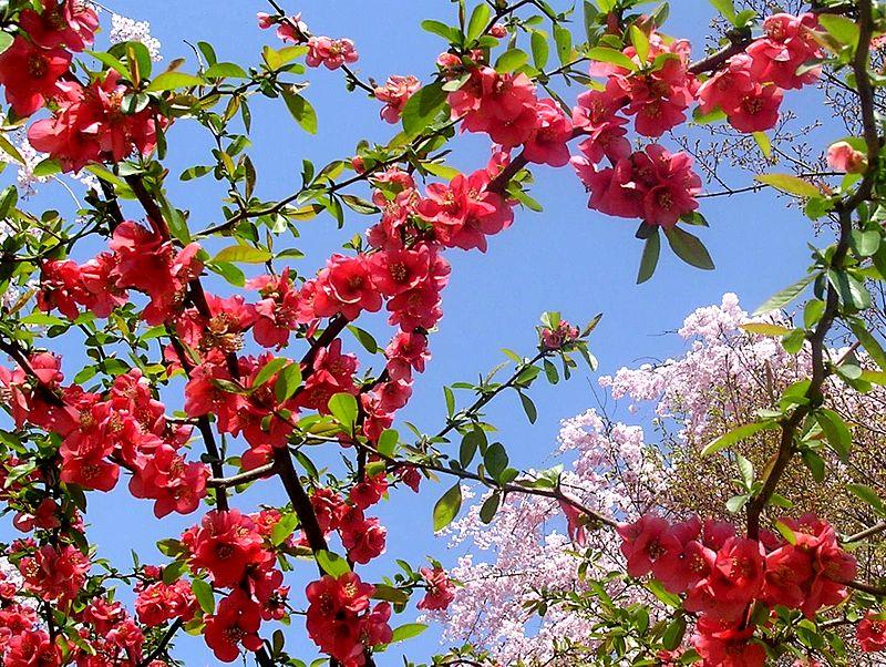 Цветение сакуры в китайском «Саду дружбы»