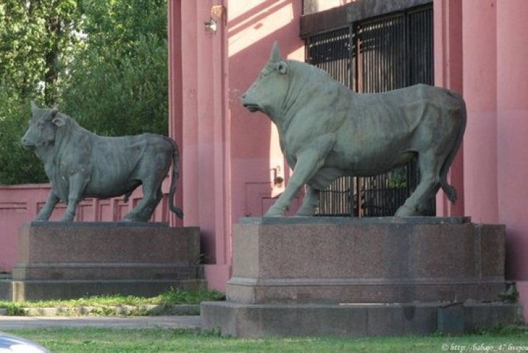 Быки у Санкт-Петербургского мясокомбината, фото с сайта M.fotostrana.ru
