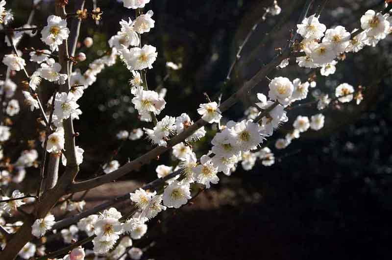 Цветение сакуры в саду у Смольного