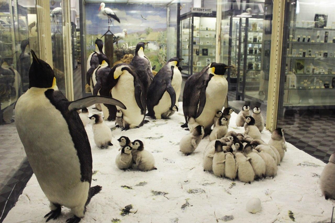 Пингвины. Фото: Зоологический музей РАН (vk.com/zoologicalmusspb)