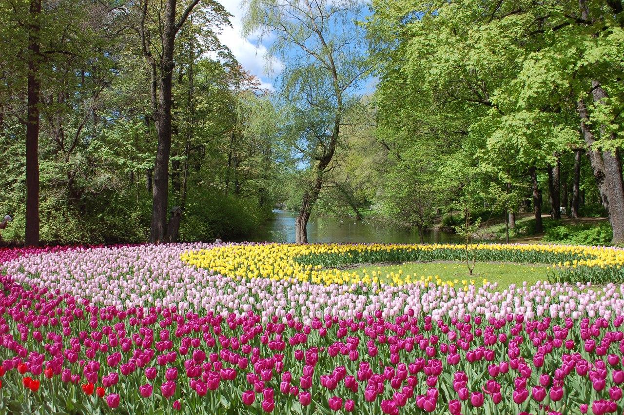 """""""Наш ковёр - цветочная поляна"""", Дмитрий Костюхин. Елагин остров, Фестиваль тюльпанов, 30 мая 2017 года"""