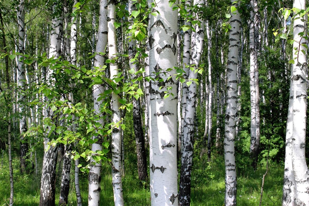 Берёзы в лесу России
