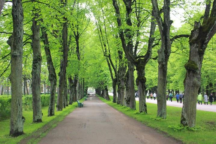 Тройная липовая аллея. Автор: Peterburg.center