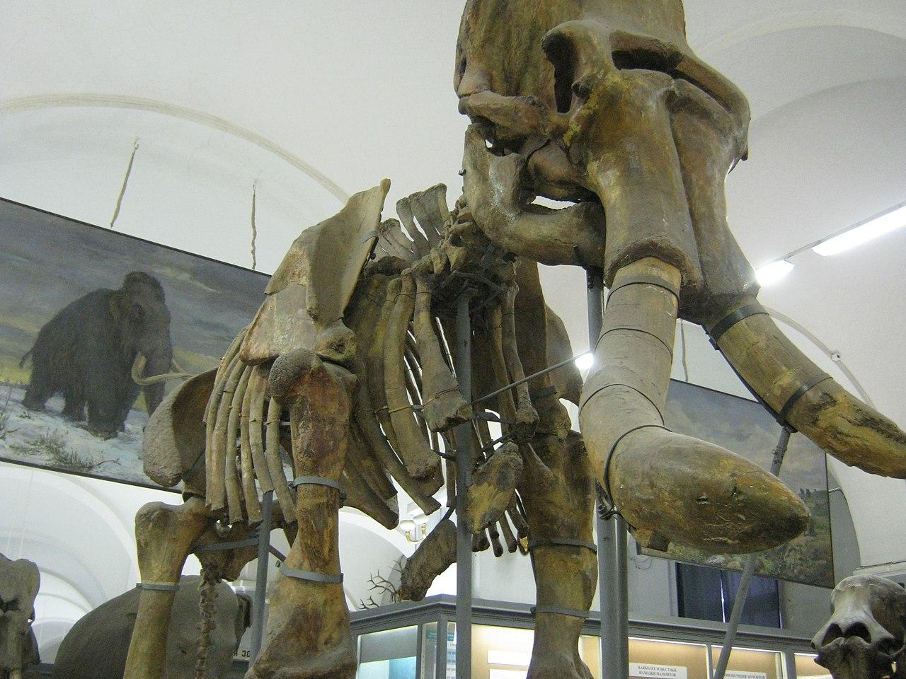 Второй обнаруженный скелет Южного слона выставленный в Санкт-Петербургский зоологический музей РАН.. Автор фото: Константин Кудинов (Wikimedia Commons)