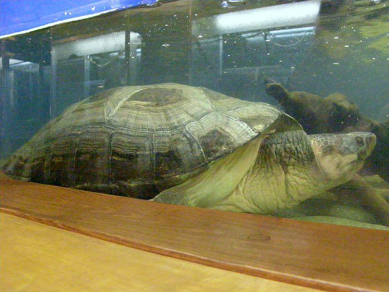 Калимантанская черепаха в Ленинградском зоопарке. Автор: A. C. Tatarinov, Wikimedia Commons