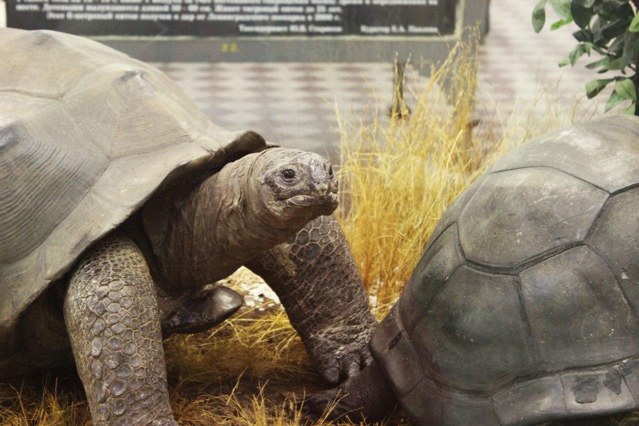 Черепахи. Фото: Зоологический музей РАН (vk.com/zoologicalmusspb)