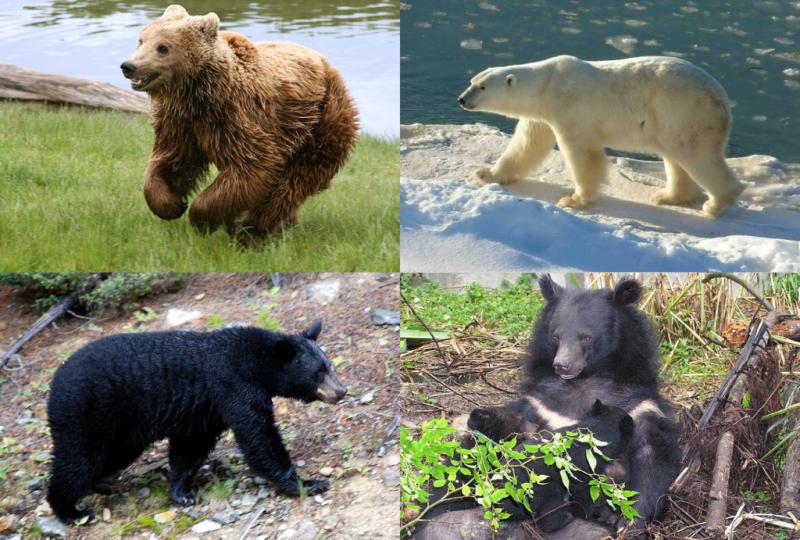 Медвежий коллаж. Фото: The Explaner (Wikimedia Commons)