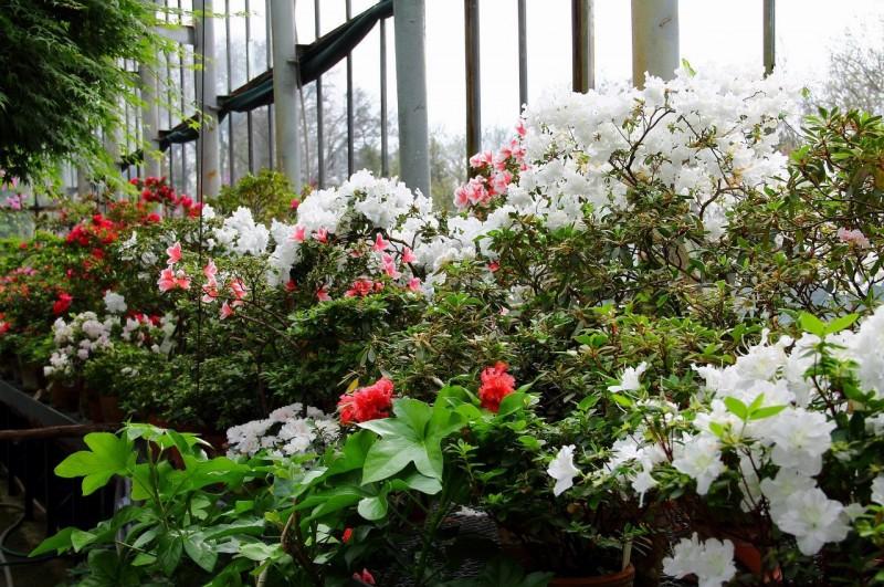 Ботанический сад Петра Великого. Rhododendron. Фото: Ирина Казакова