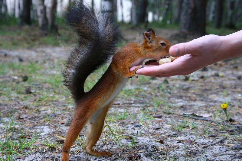 Белок можно приручить для кормления с рук. Автор фото: Igor Pashev (Wikimedia Commons)
