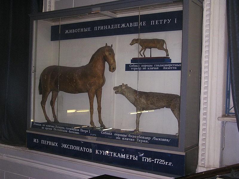 Чучела Лизетты и других животных Петра I в Зоологическом музее, источник фото: Wikimedia Commons, Автор: Andrew Butko