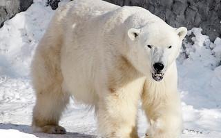 Международный день белого медведя в Ленинградском зоопарке