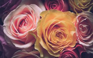 Розы. Фото: pixabay.com