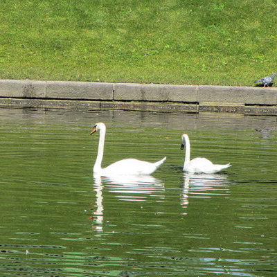 Лебеди в Карпиевом пруду. Автор: Error424, Wikimedia Commons